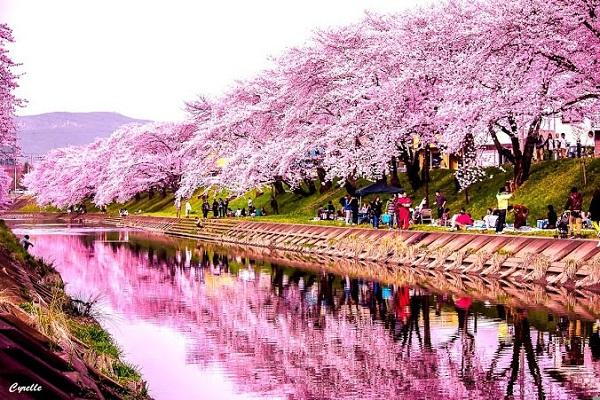 Lễ hội hoa anh đào Hàn Quốc