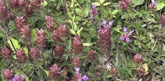 Tác dụng của hạt hoa hạ với sức khỏe