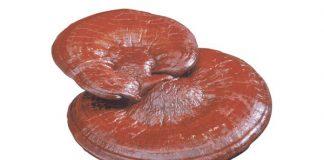 Tại sao nấm linh chi nhập khẩu tốt hơn nấm linh chi nội địa