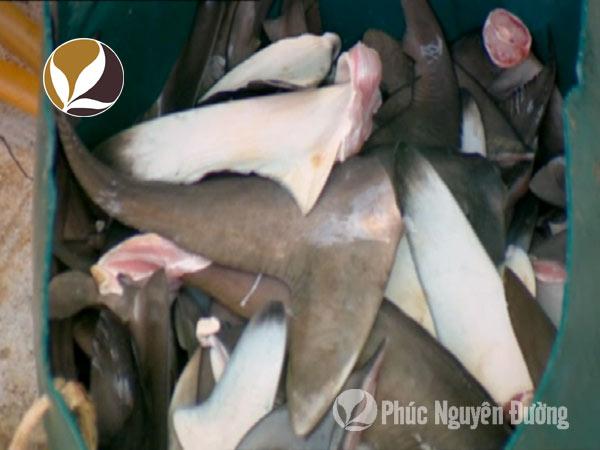 Cách dùng vi cá mập khô vừa chuẩn vừa hiệu quả