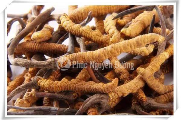 Đông trùng hạ thảo Tây Tạng - Phúc Nguyên Đường