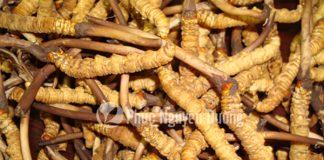 Quá trình phát triển của đông trùng hạ thảo